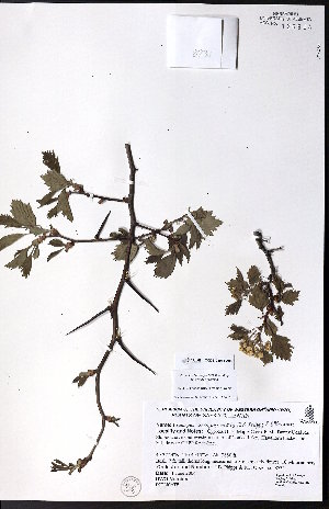 (Crataegus ursopedensis - CCDB-23954-A08)  @11 [ ] CreativeCommons - Attribution Non-Commercial No Derivatives (2015) University of Alberta Herbarium University of Alberta Herbarium