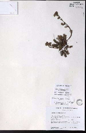 (Potentilla jepsonii - CCDB-23954-B01)  @11 [ ] CreativeCommons - Attribution Non-Commercial No Derivatives (2015) University of Alberta Herbarium University of Alberta Herbarium