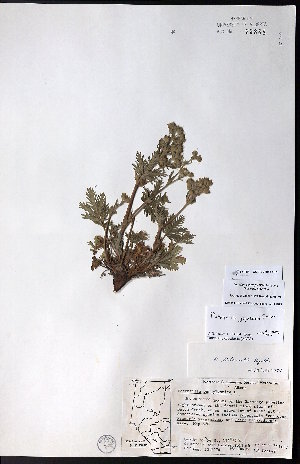 (Potentilla jepsonii - CCDB-23954-C01)  @11 [ ] CreativeCommons - Attribution Non-Commercial No Derivatives (2015) University of Alberta Herbarium University of Alberta Herbarium