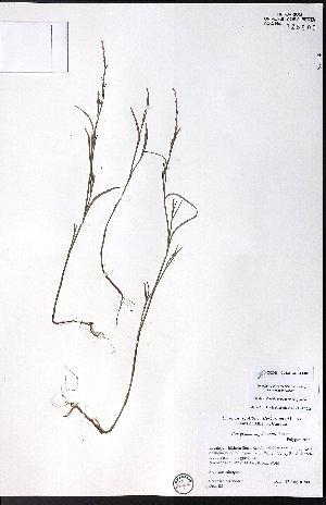 (Polygonum engelmannii - CCDB-23954-C02)  @11 [ ] CreativeCommons - Attribution Non-Commercial No Derivatives (2015) University of Alberta Herbarium University of Alberta Herbarium