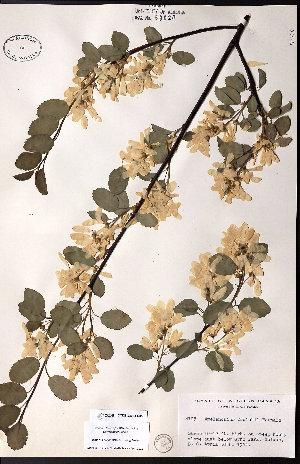 (Amelanchier cusickii - CCDB-23954-C05)  @11 [ ] CreativeCommons - Attribution Non-Commercial No Derivatives (2015) University of Alberta Herbarium University of Alberta Herbarium