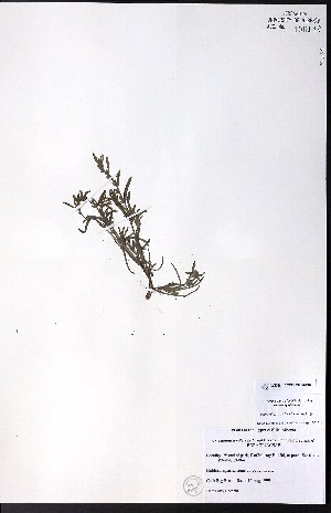 (Cryptantha fendleri - CCDB-23954-C07)  @11 [ ] CreativeCommons - Attribution Non-Commercial No Derivatives (2015) University of Alberta Herbarium University of Alberta Herbarium