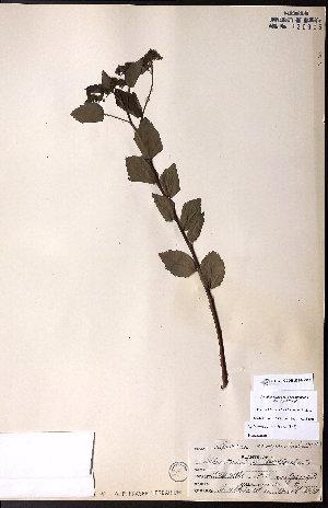 (Spiraea corymbosa - CCDB-23954-D04)  @11 [ ] CreativeCommons - Attribution Non-Commercial No Derivatives (2015) University of Alberta Herbarium University of Alberta Herbarium