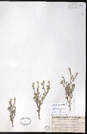 (Cryptantha ambigua - CCDB-23954-D06)  @11 [ ] CreativeCommons - Attribution Non-Commercial No Derivatives (2015) University of Alberta Herbarium University of Alberta Herbarium