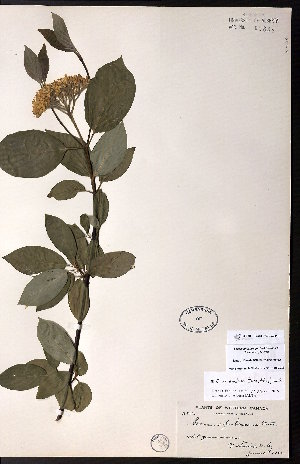 (Cornus occidentalis - CCDB-23954-D10)  @11 [ ] CreativeCommons - Attribution Non-Commercial No Derivatives (2015) University of Alberta Herbarium University of Alberta Herbarium