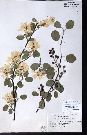 (Amelanchier cusickii - CCDB-23954-E05)  @11 [ ] CreativeCommons - Attribution Non-Commercial No Derivatives (2015) University of Alberta Herbarium University of Alberta Herbarium