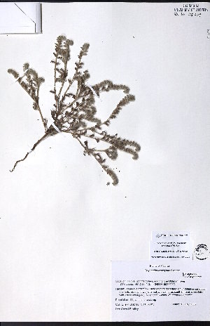 (Cryptantha kelseyana - CCDB-23954-E07)  @11 [ ] CreativeCommons - Attribution Non-Commercial No Derivatives (2015) University of Alberta Herbarium University of Alberta Herbarium
