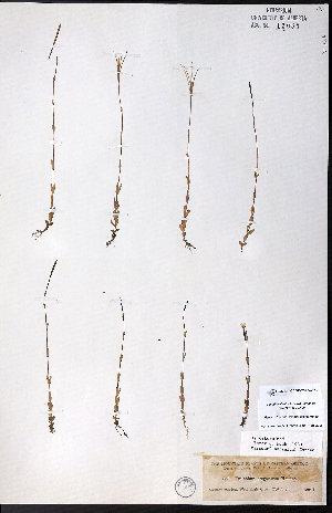 (Epilobium oregonense - CCDB-23954-E12)  @11 [ ] CreativeCommons - Attribution Non-Commercial No Derivatives (2015) University of Alberta Herbarium University of Alberta Herbarium