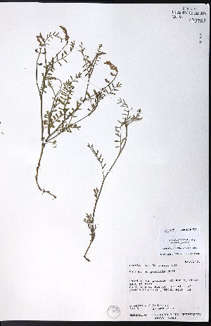 (Astragalus gracilis - CCDB-23954-F05)  @11 [ ] CreativeCommons - Attribution Non-Commercial No Derivatives (2015) University of Alberta Herbarium University of Alberta Herbarium