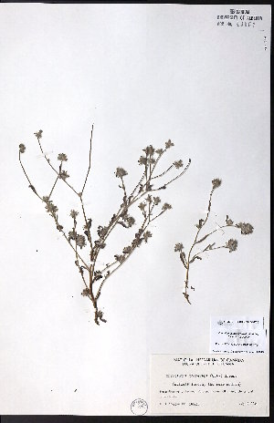 (Cryptantha torreyana - CCDB-23954-F06)  @11 [ ] CreativeCommons - Attribution Non-Commercial No Derivatives (2015) University of Alberta Herbarium University of Alberta Herbarium