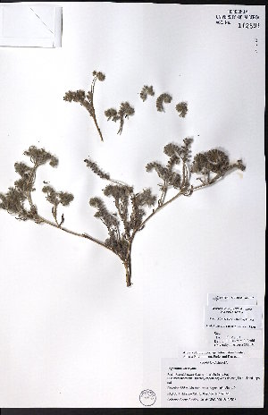 (Cryptantha kelseyana - CCDB-23954-F07)  @11 [ ] CreativeCommons - Attribution Non-Commercial No Derivatives (2015) University of Alberta Herbarium University of Alberta Herbarium