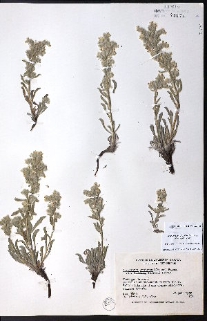 (Cryptantha macounii - CCDB-23954-F08)  @11 [ ] CreativeCommons - Attribution Non-Commercial No Derivatives (2015) University of Alberta Herbarium University of Alberta Herbarium