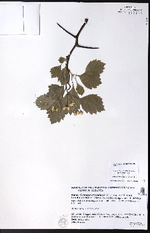 (Crataegus ursopedensis - CCDB-23954-G09)  @11 [ ] CreativeCommons - Attribution Non-Commercial No Derivatives (2015) University of Alberta Herbarium University of Alberta Herbarium