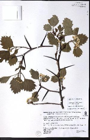 (Crataegus ursopedensis - CCDB-23954-H09)  @11 [ ] CreativeCommons - Attribution Non-Commercial No Derivatives (2015) University of Alberta Herbarium University of Alberta Herbarium