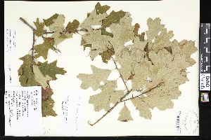 (Quercus - CCDB-23956-G03)  @11 [ ] CreativeCommons - Attribution Non-Commercial No Derivatives (2015) Department of Agriculture Agriculture & Agri-Food Canada National Collection of Vascular Plants (DAO