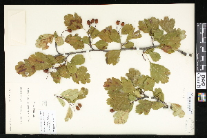 (Crataegus curvisepala - CCDB-23957-C07)  @11 [ ] CreativeCommons - Attribution Non-Commercial No Derivatives (2015) Department of Agriculture Agriculture & Agri-Food Canada National Collection of Vascular Plants (DAO