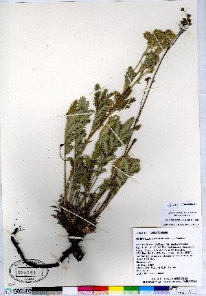 (Potentilla finitima - CCDB-24820-B12)  @11 [ ] CreativeCommons - Attribution Non-Commercial No Derivatives (2015) Canadian Museum of Nature Canadian Museum of Nature