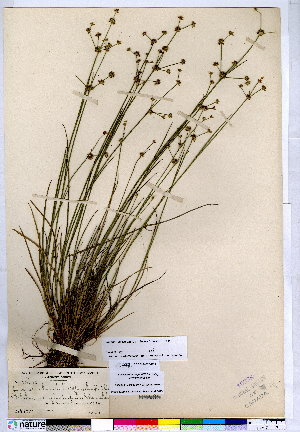(Juncus subcaudatus - CCDB-24820-C11)  @11 [ ] CreativeCommons - Attribution Non-Commercial No Derivatives (2015) Canadian Museum of Nature Canadian Museum of Nature