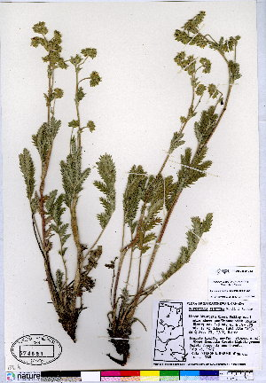 (Potentilla finitima - CCDB-24820-D12)  @11 [ ] CreativeCommons - Attribution Non-Commercial No Derivatives (2015) Canadian Museum of Nature Canadian Museum of Nature