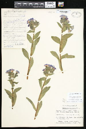 (Pulmonaria - CCDB-24820-H02)  @11 [ ] CreativeCommons - Attribution Non-Commercial No Derivatives (2015) Department of Agriculture Agriculture & Agri-Food Canada National Collection of Vascular Plants (DAO