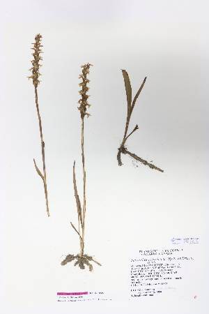(Spiranthes ochroleuca - CCDB-24924-H03)  @11 [ ] CreativeCommons - Attribution Non-Commercial Share-Alike (2015) Michael Oldham Ontario Natural Heritage Information Centre