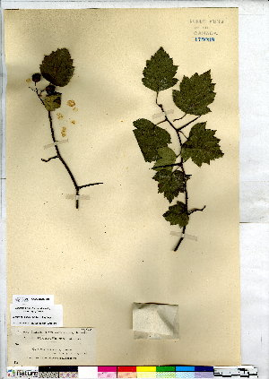 (Crataegus stolonifera - CCDB-28092-B02)  @11 [ ] CreativeCommons - Attribution Non-Commercial No Derivatives (2015) Canadian Museum of Nature Canadian Museum of Nature