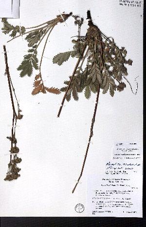 (Potentilla lasiodonta - CCDB-28092-B06)  @11 [ ] CreativeCommons - Attribution Non-Commercial No Derivatives (2015) University of Alberta Herbarium University of Alberta Herbarium