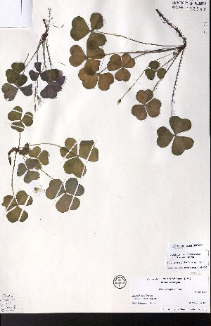 (Oxalis oregana - CCDB-28092-B07)  @11 [ ] CreativeCommons - Attribution Non-Commercial No Derivatives (2015) University of Alberta Herbarium University of Alberta Herbarium