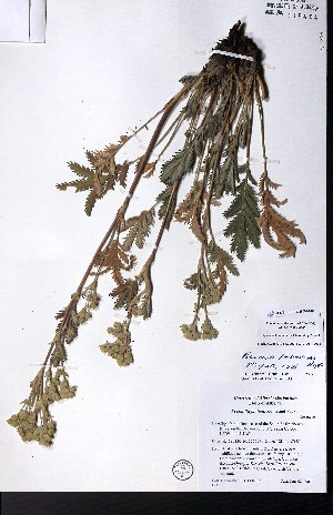 (Potentilla lasiodonta - CCDB-28092-C06)  @11 [ ] CreativeCommons - Attribution Non-Commercial No Derivatives (2015) University of Alberta Herbarium University of Alberta Herbarium