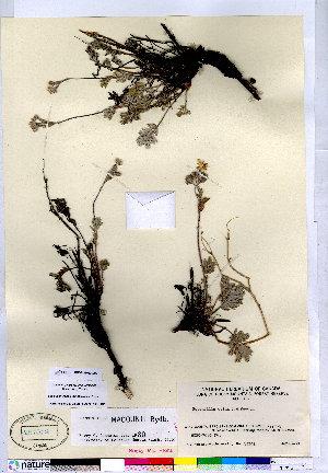 (Potentilla macounii - CCDB-28092-D02)  @11 [ ] CreativeCommons - Attribution Non-Commercial No Derivatives (2015) Canadian Museum of Nature Canadian Museum of Nature
