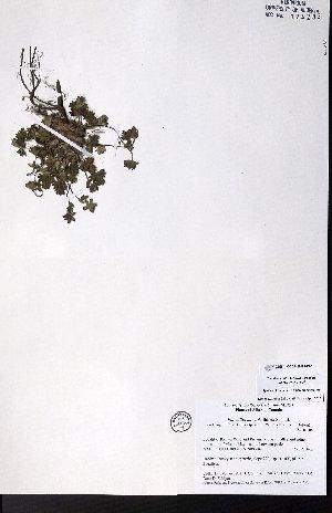 (Potentilla nana - CCDB-28092-D06)  @11 [ ] CreativeCommons - Attribution Non-Commercial No Derivatives (2015) University of Alberta Herbarium University of Alberta Herbarium