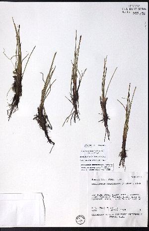 (Eleocharis - CCDB-28092-D10)  @11 [ ] CreativeCommons - Attribution Non-Commercial No Derivatives (2015) University of Alberta Herbarium University of Alberta Herbarium