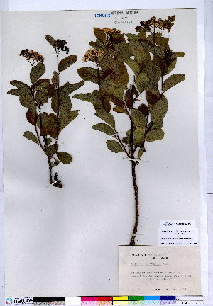 (Spiraea corymbosa - CCDB-28092-E02)  @11 [ ] CreativeCommons - Attribution Non-Commercial No Derivatives (2015) Canadian Museum of Nature Canadian Museum of Nature