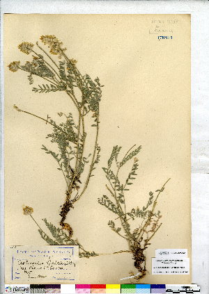 (Astragalus spaldingii - CCDB-28092-E04)  @11 [ ] CreativeCommons - Attribution Non-Commercial No Derivatives (2015) Canadian Museum of Nature Canadian Museum of Nature