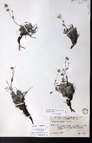 (Potentilla uschakovii - CCDB-28092-F06)  @11 [ ] CreativeCommons - Attribution Non-Commercial No Derivatives (2015) University of Alberta Herbarium University of Alberta Herbarium