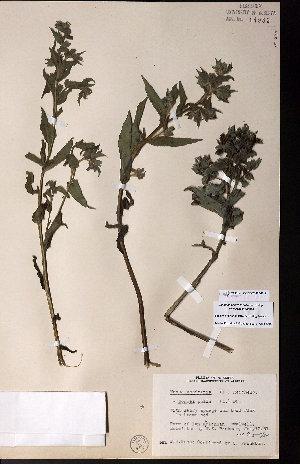 (Nonea - CCDB-28092-G12)  @11 [ ] CreativeCommons - Attribution Non-Commercial No Derivatives (2015) University of Alberta Herbarium University of Alberta Herbarium