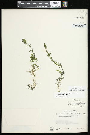 (Elodea bifoliata - CCDB-23395-F10)  @11 [ ] CreativeCommons - Attribution Non-Commercial Share-Alike (2015) Agriculture and Agri-Food Canada Agriculture and Agri-Food Canada