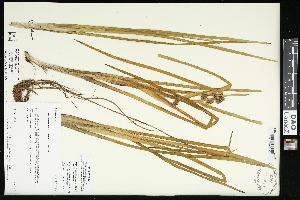 (Sparganium glomeratum - CCDB-23395-G08)  @11 [ ] CreativeCommons - Attribution Non-Commercial Share-Alike (2015) Agriculture and Agri-Food Canada Agriculture and Agri-Food Canada