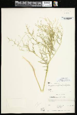 (Chenopodium subglabrum - CCDB-23955-G07)  @11 [ ] CreativeCommons - Attribution Non-Commercial Share-Alike (2015) Agriculture and Agri-Food Canada Agriculture and Agri-Food Canada