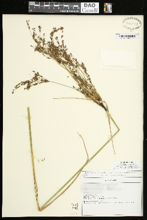 (Scirpus - CCDB-24795-H02)  @11 [ ] CreativeCommons - Attribution Non-Commercial Share-Alike (2015) Agriculture and Agri-Food Canada Agriculture and Agri-Food Canada