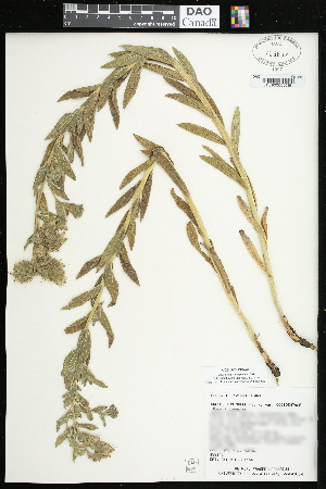 (Lithospermum occidentale - CCDB-24798-A01)  @11 [ ] CreativeCommons - Attribution Non-Commercial Share-Alike (2015) Agriculture and Agri-Food Canada Agriculture and Agri-Food Canada