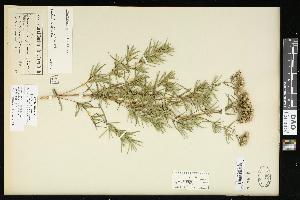 (Pycnanthemum tenuifolium - CCDB-24798-C08)  @11 [ ] CreativeCommons - Attribution Non-Commercial Share-Alike (2015) Agriculture and Agri-Food Canada Agriculture and Agri-Food Canada