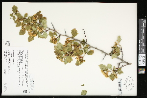 (Crataegus sheila-phippsiae - CCDB-24801-C09)  @11 [ ] CreativeCommons - Attribution Non-Commercial Share-Alike (2015) Agriculture and Agri-Food Canada Agriculture and Agri-Food Canada