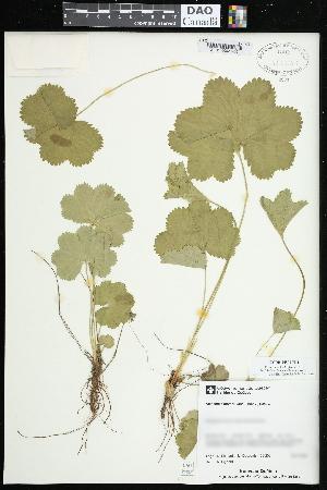 (Alchemilla glomerulans - CCDB-24801-H11)  @11 [ ] CreativeCommons - Attribution Non-Commercial Share-Alike (2015) Agriculture and Agri-Food Canada Agriculture and Agri-Food Canada