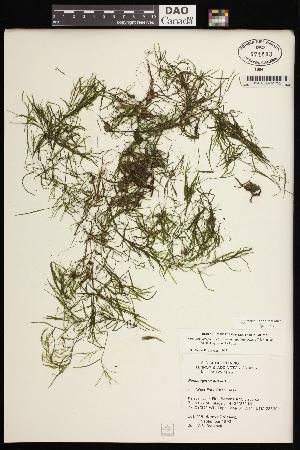 (Potamogeton pusillus - CCDB-26261-B07)  @11 [ ] CreativeCommons - Attribution Non-Commercial Share-Alike (2017) Maria Kuzmina Centre for Biodiversity Genomics