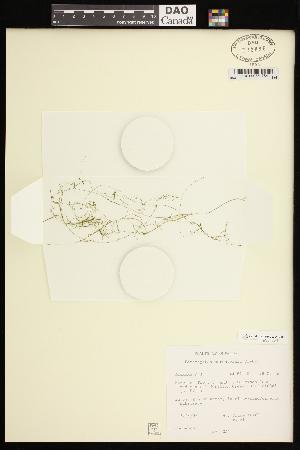 (Potamogeton berchtoldii - CCDB-26261-B08)  @11 [ ] CreativeCommons - Attribution Non-Commercial Share-Alike (2017) Maria Kuzmina Centre for Biodiversity Genomics