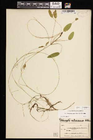 (Potamogeton oakesianus - CCDB-26261-C11)  @11 [ ] CreativeCommons - Attribution Non-Commercial Share-Alike (2017) Maria Kuzmina Centre for Biodiversity Genomics