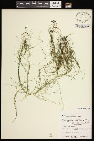 (Potamogeton filiformis var borealis - CCDB-26261-D10)  @11 [ ] CreativeCommons - Attribution Non-Commercial Share-Alike (2017) Maria Kuzmina Centre for Biodiversity Genomics
