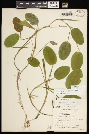(Potamogeton natans - CCDB-26261-D11)  @11 [ ] CreativeCommons - Attribution Non-Commercial Share-Alike (2017) Maria Kuzmina Centre for Biodiversity Genomics