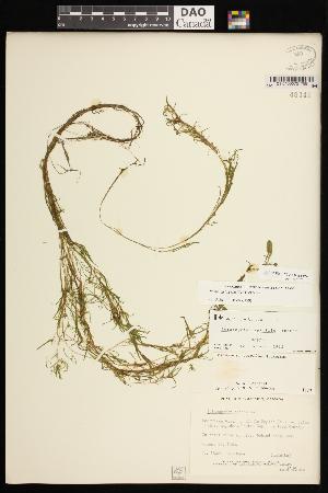 (Potamogeton spirillus - CCDB-26261-F08)  @11 [ ] CreativeCommons - Attribution Non-Commercial Share-Alike (2017) Maria Kuzmina Centre for Biodiversity Genomics